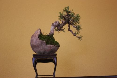 Bonsai Pino - Composición de Sohin - CBALICANTE