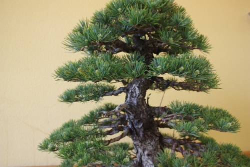 Bonsai Detalles - Pino ( Pinus Parviflora ) de Francisco Javier Pavia - CBALICANTE