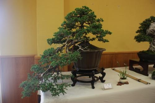Bonsai Juniperus Procumbens en Cascada de Juan Ortega - CBALICANTE
