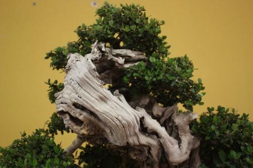 Bonsai Detalles de Ullastre de Juan Miguel Ruiz - CBALICANTE