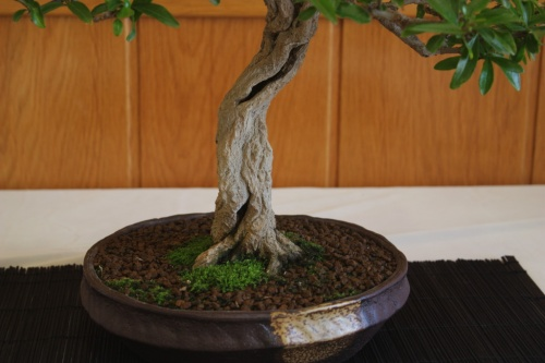 Bonsai Granado ( Tronco ) de Jose Antonio Terol - CBALICANTE