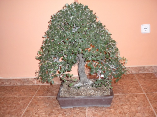 Bonsai 12092 - vicente solbes