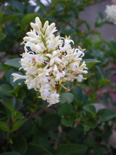 Bonsai Aligustre flor - Elias