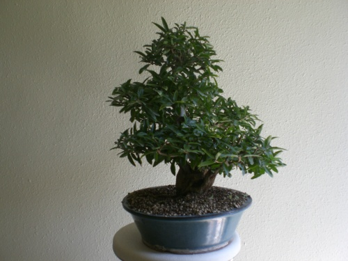 Bonsai 12160 - vicente solbes