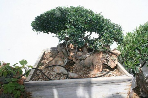 Bonsai 12256 - vicente solbes