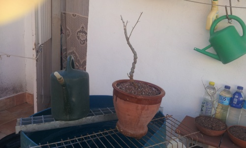 Acacia trasplantada
