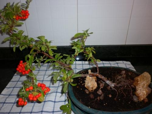 Bonsai Espino de Fuego = Pyracantha coccinea= - tito satorre rodriguez