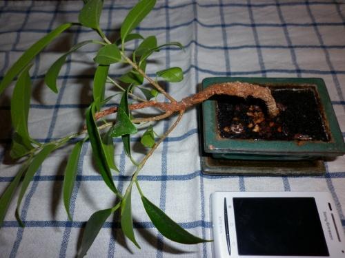 Bonsai Ficus retusa III 2012 - tito satorre rodriguez