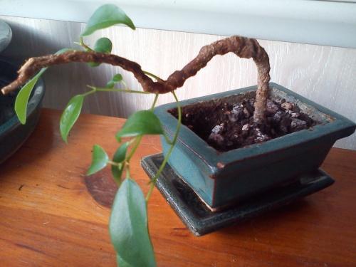Bonsai Ficus Retusa III   2010 - tito satorre rodriguez