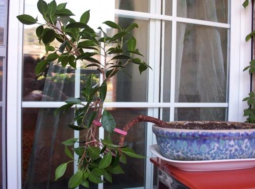 Bonsai Ficus Retusa I 2001 - tito satorre rodriguez