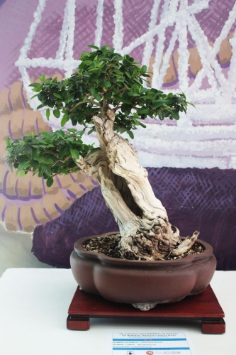Bonsai Madreselva Bonsai - torrevejense