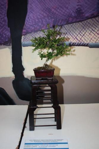 Bonsai Aligustre Japones Bonsai - torrevejense