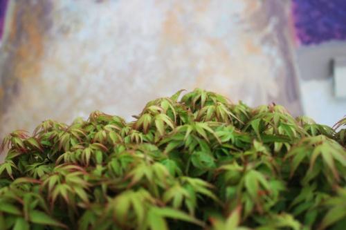 Bonsai Vista de la copa de Acer Palmatum - Bonsai - torrevejense