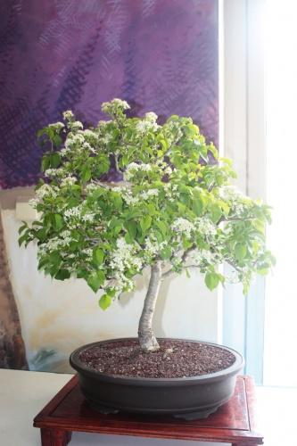 Bonsai Cerezo Bonsai - Prunus Avium - torrevejense