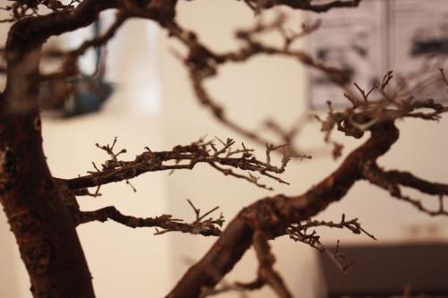 Bonsai Disposicion de ramas del Olmo Cecilia - torrevejense