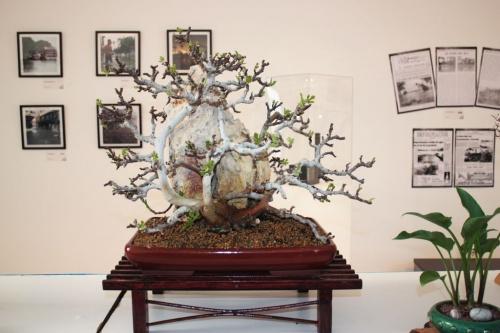Bonsai Higuera sobre roca - torrevejense