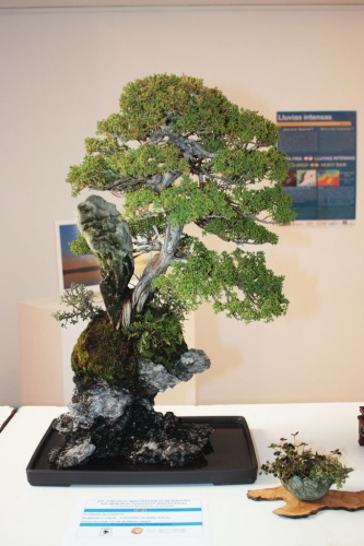 Bonsai Junipero sobre Roca - Bonsai - torrevejense