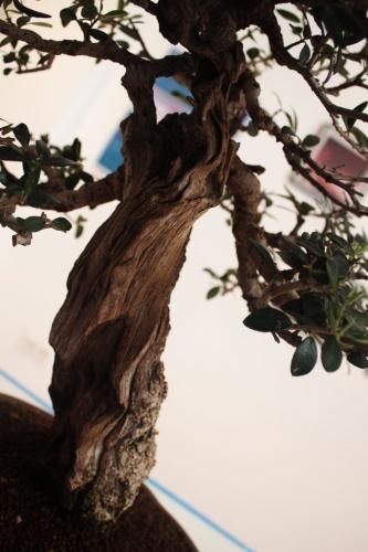 Bonsai Detalle del tronco de Olivo Bonsai - torrevejense