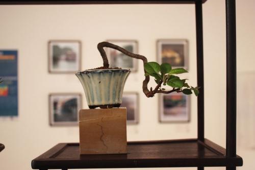 Bonsai Sohin - Zelkova Nire - torrevejense