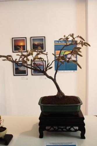 Bonsai Visteria China Bonsai - torrevejense