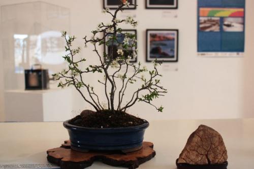 Bonsai Endrino Bonsai en maceta Ovalada Azul - torrevejense