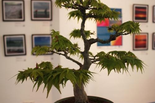 Bonsai Arce Japones Bonsai - Detalle de ramas - torrevejense