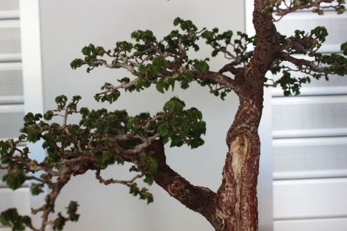 Bonsai Olmo Monforte Bonsai - Detalle de ramas - torrevejense