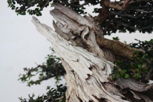 Bonsai Acebuche Bonsai - Detalle del Tronco de Acebuche - torrevejense