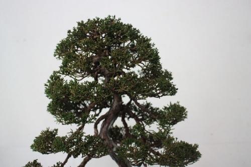 Bonsai Itoigawa Bonsai - Vista de la copa - torrevejense