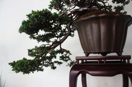 Bonsai Junipero Bonsai - Detalle de la Cascada - torrevejense