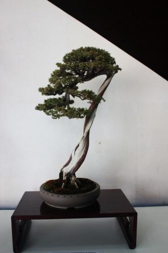Bonsai Enebro de las Pagodas Bonsai - torrevejense