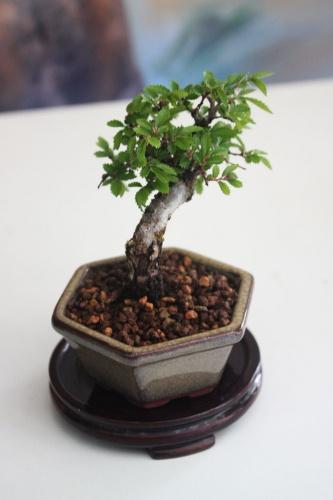 Bonsai 12564 - torrevejense
