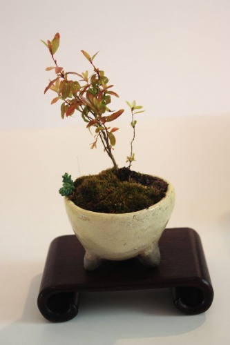 Bonsai 12584 - torrevejense