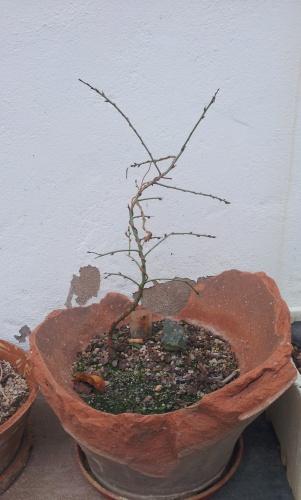 Bonsai 12604 - SARRUT