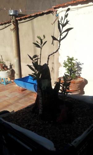 Bonsai Olivo - SARRUT