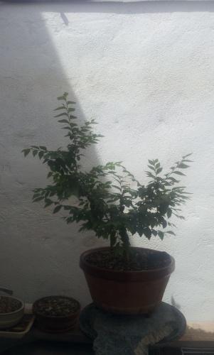 Bonsai 12756 - SARRUT