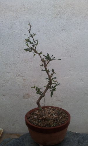 Bonsai 12776 - SARRUT