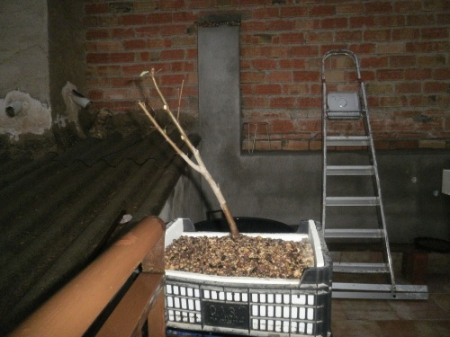 Bonsai Olmo planton sacado en noviembre del 2012 - SARRUT