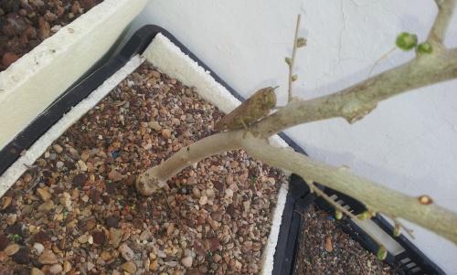 Bonsai Olmo planton sacado en noviembre del 2012 alimentandose - SARRUT