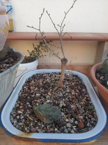 Bonsai 12824 - SARRUT