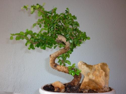 Bonsai Carmona, te de Fukien=ehretia buxifolia = 2014 - tito satorre rodriguez