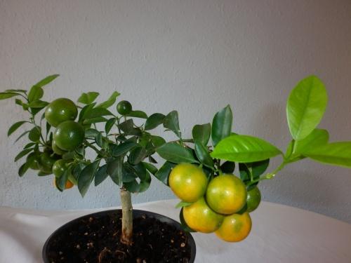 Bonsai Naranjo chino=Calamondin= 2014 - tito satorre rodriguez