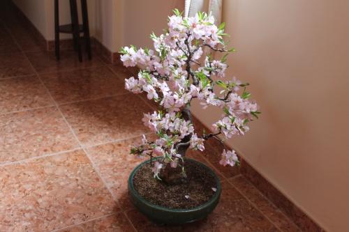 Bonsai 13000 - vicente solbes