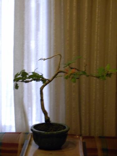 Bonsai Carballo - Mera