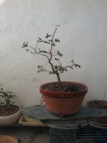 Bonsai 13072 - SARRUT