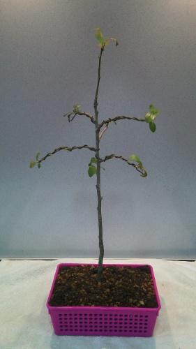 Bonsai Manzano - jaudetb