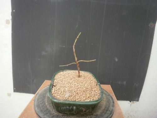 Bonsai Almendro semilla del 2015 - SARRUT
