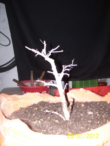 Bonsai 13256 - SARRUT