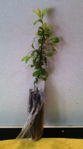 Bonsai Piracanta plantón - jaudetb