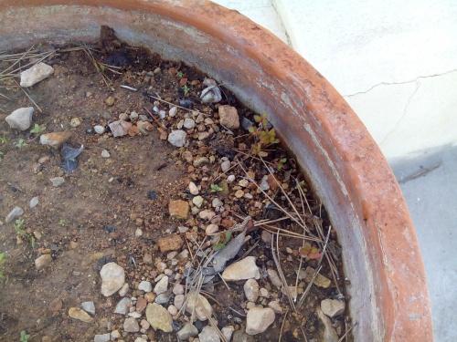 Bonsai Semillas de madroños germinadas este otoño pasdo 2015. - Fernando ballester martinez